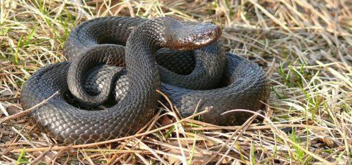 укус змеи первая помощь